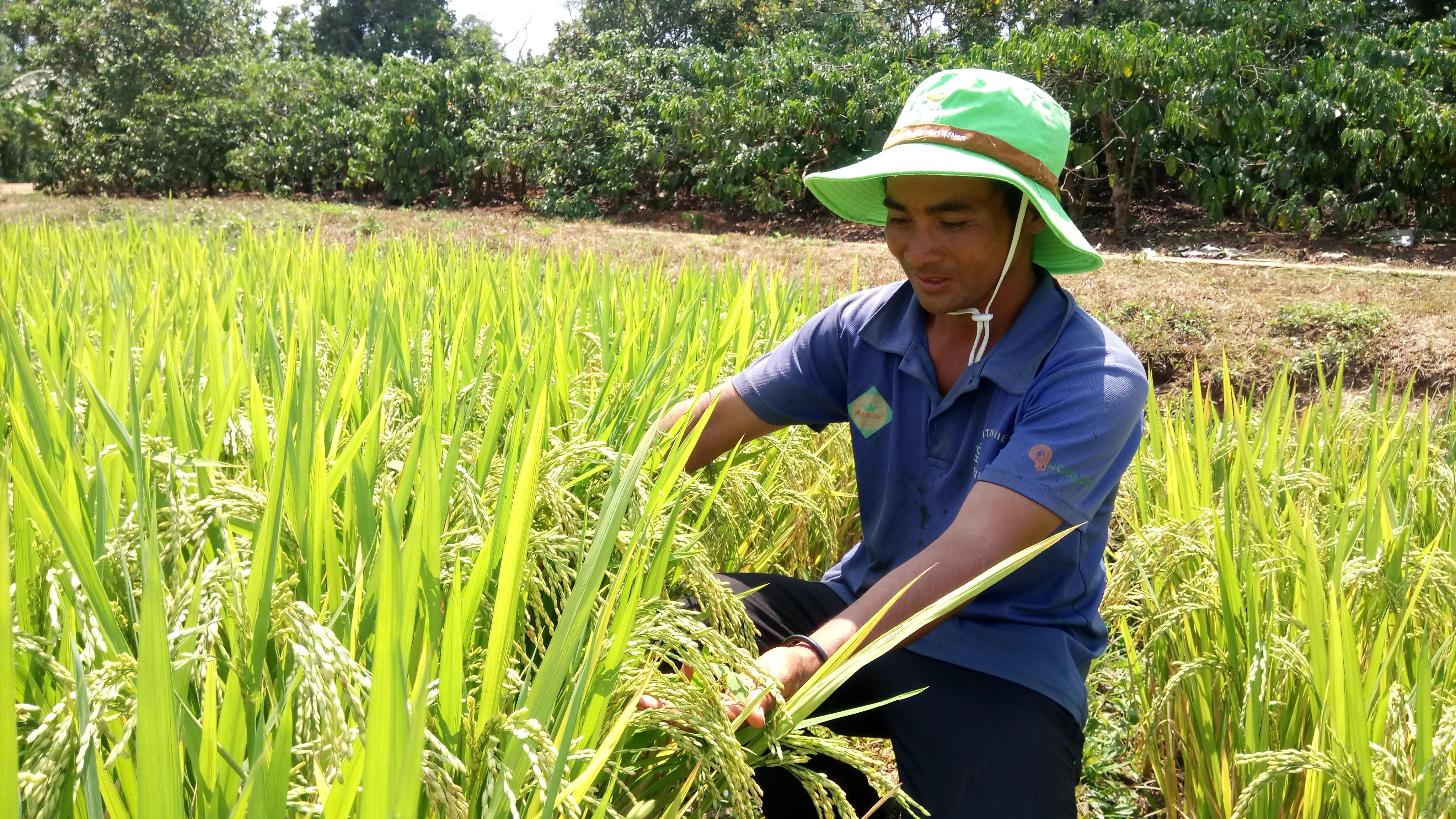 Khảo nghiệm thành công giống lúa thuần BC15 mở ra hướng đi mới trong việc chuyển đổi giống lúa nước ở huyện Cư M'gar