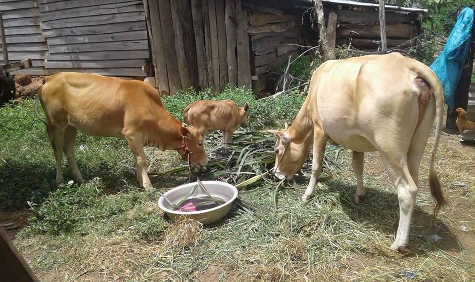 """Kết quả từ công trình """"100 con bò sinh sản chung tay cùng Phụ nữ nghèo"""" tại huyện Ea Súp, tỉnh Đắk Lắk"""
