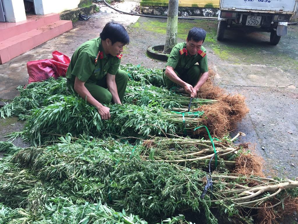 Đắk Lắk xử lý đối tượng trồng số lượng lớn cây cần sa