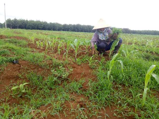 Hiệu quả phương pháp xen canh cây trồng ở xã Ea Riêng, huyện M'Đrắk