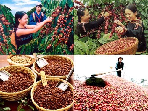 Chỉ thị về việc sản xuất, thu hoạch, chế biến và tiêu thụ cà phê niên vụ 2018 – 2019