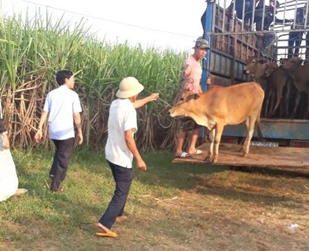 Trao tặng 20 con bò giống cho các hộ nghèo và cận nghèo