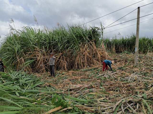 Nỗi buồn mùa thu hoạch ở vùng nguyên liệu mía huyện M'Đrắk