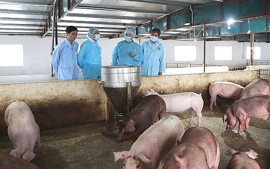 Thông báo của lãnh đạo tỉnh về triển khai các giải pháp phòng chống bệnh lở mồm long móng và Dịch tả lợn Châu Phi