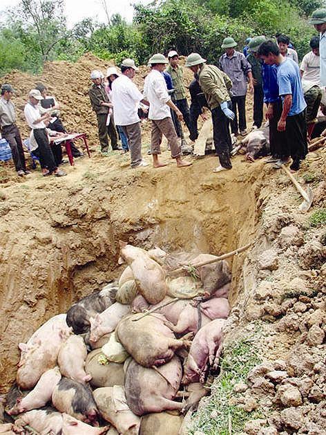 Quyết định phê duyệt mức hỗ trợ tiêu hủy do dịch bệnh lở mồm long móng, tai xanh, dịch tả lợn Châu Phi năm 2019 trên địa bàn tỉnh.