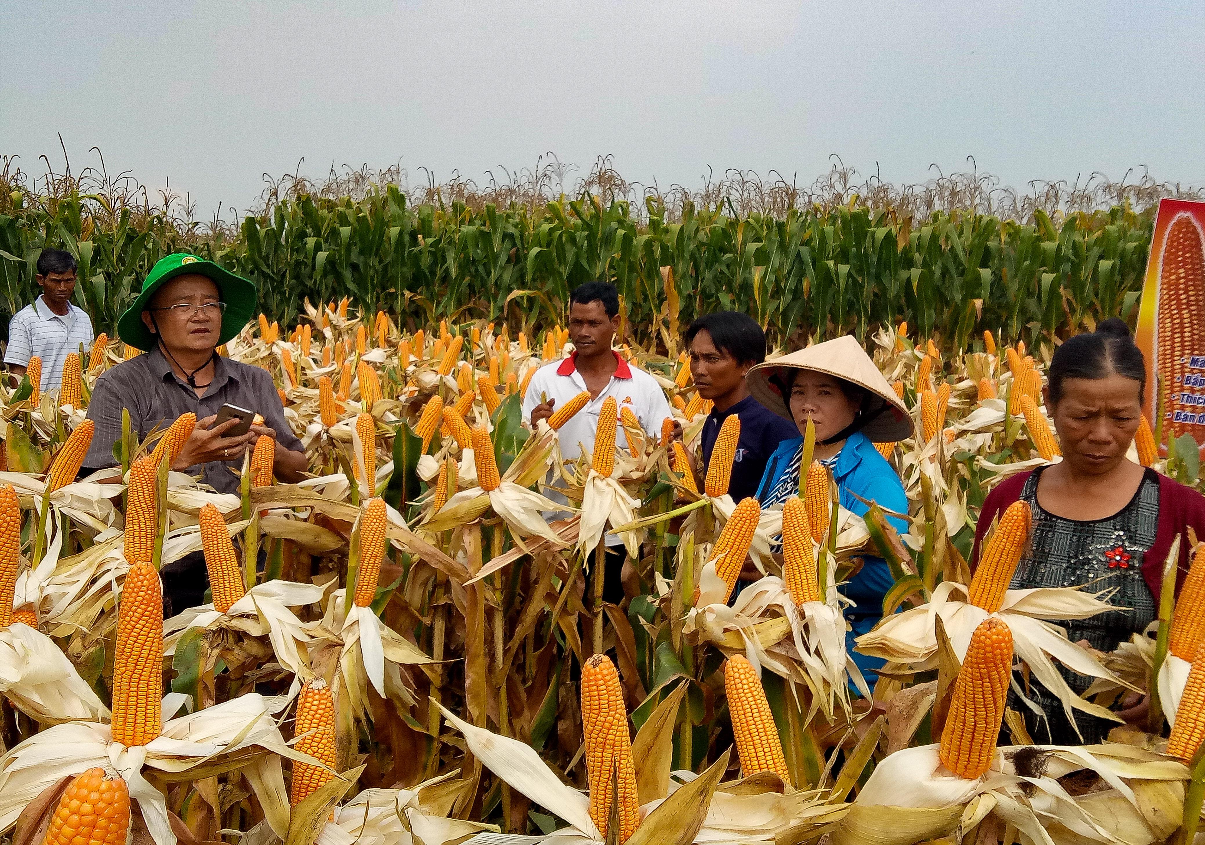 Hội thảo đầu bờ giống ngô lai PAC 779, PAC 789 ở Buôn M'liêng, huyện Lắk
