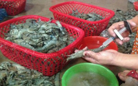 Tiếp tục triển khai kiểm soát ngăn chặn hành vi đưa tạp chất vào tôm nguyên liệu và sản xuất, kinh doanh sản phẩm tôm có tạp chất