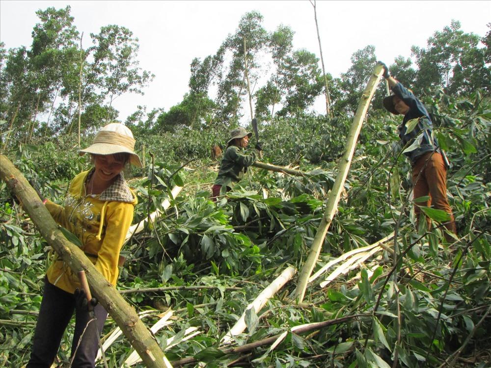 Đắk Lắk giá gỗ keo nguyên liệu tăng cao