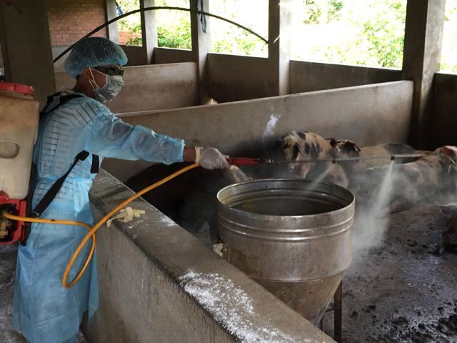 Xuất hiện ổ dịch tả lợn châu Phi đầu tiên ở Đắk Lắk