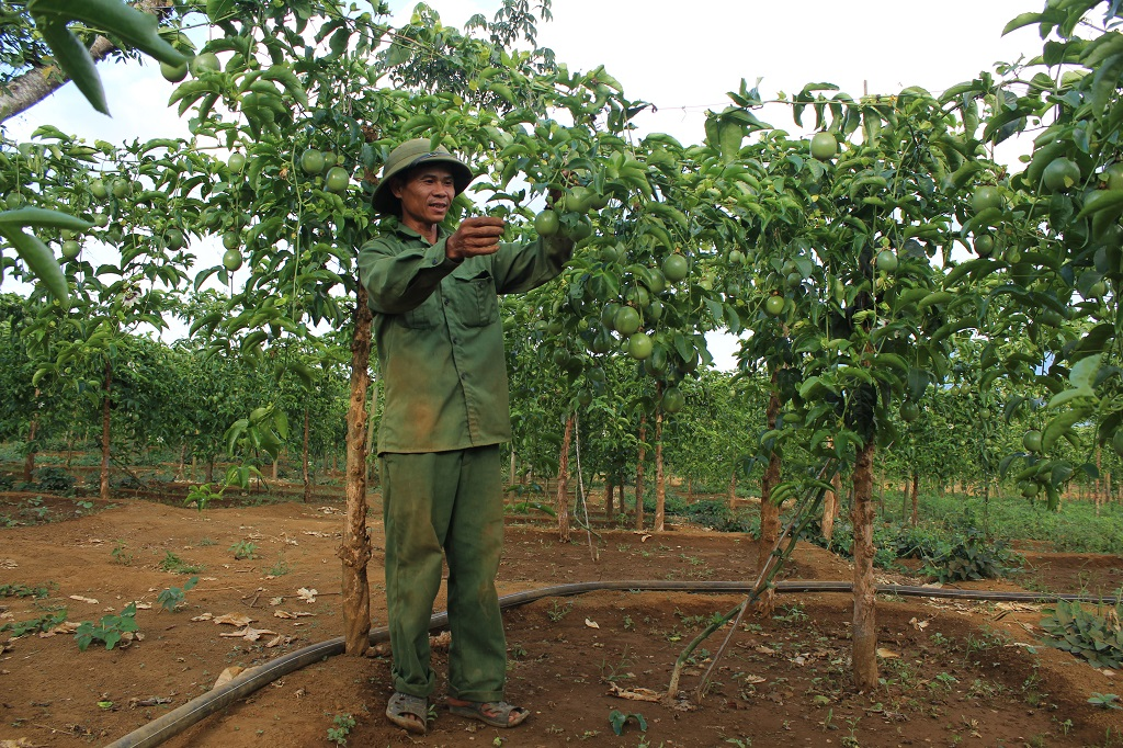 Nông dân M'Đrắk chuyển đổi cây trồng ứng phó với biến đổi khí hậu