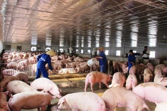 Tiếp tục triển khai quyết liệt công tác phòng, chống bệnh Dịch tả lợn Châu Phi