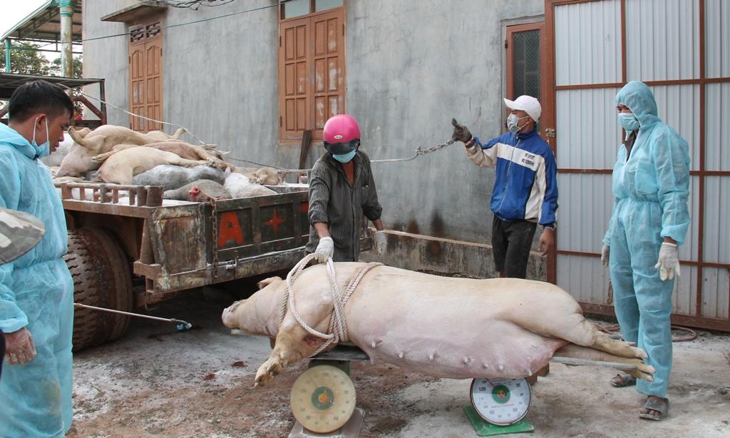Tăng cường lãnh đạo, chỉ đạo thực hiện hiệu quả công tác phòng, chống, khống chế bệnh Dịch tả lợn Châu Phi