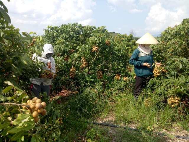 """Xã Ea Pil, huyện M'Đrắk phát triển """"nóng"""" diện tích cây ăn quả"""