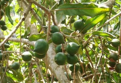 Thông báo nội dung xuất khẩu cây giống Macca sang Campuchia
