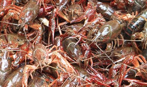 Tăng cường kiểm soát loài tôm càng đỏ và loài tôm hùm nước ngọt trên địa bàn tỉnh.