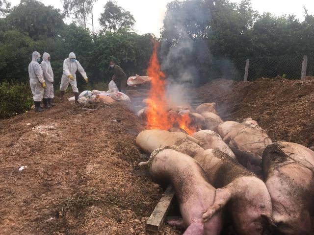 Huyện Buôn Đôn: Phát hiện ổ dịch tả lợn châu Phi đầu tiên