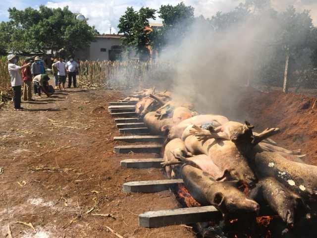 Huyện Buôn Đôn phát hiện ổ dịch tả lợn Châu Phi thứ 2