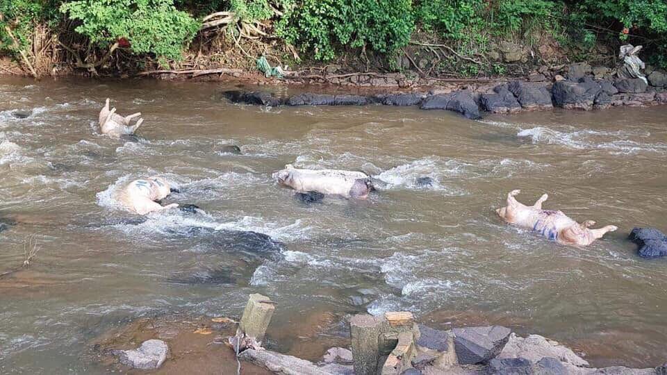Tập trung chỉ đạo xử lý dứt điểm tình trạng vứt xác lợn ra môi trường làm ô nhiễm và lây lan dịch bệnh.