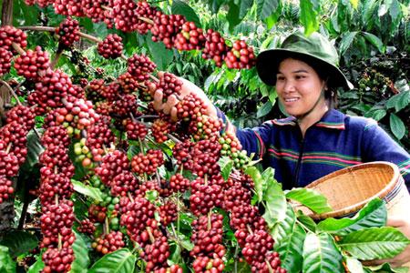 Sản xuất, thu hoạch, chế biến và tiêu thụ cà phê niên vụ 2019-2020
