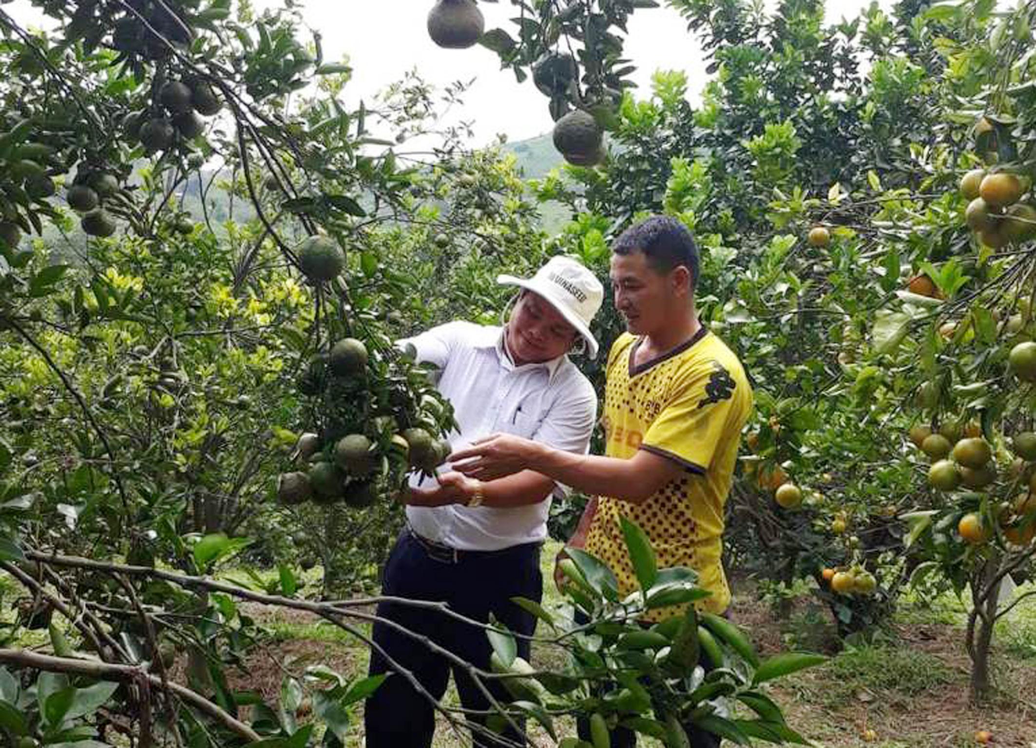 Làm giàu từ cây cam, cây quýt ở thôn Dhung Knung