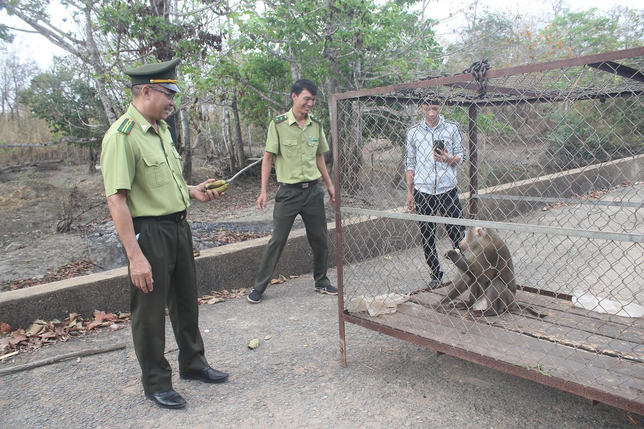 Thả một cá thể khỉ đuôi lợn quý hiếm về rừng tự nhiên