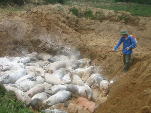 Kinh phí tiêu hủy lợn mắc bệnh Dịch tả lợn Châu Phi
