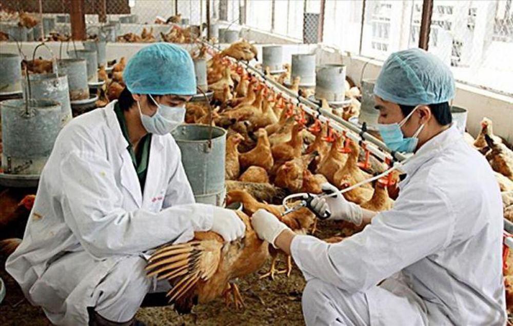 Chỉ thị về việc tập trung triển khai quyết liệt, đồng bộ các giải pháp phòng, chống bệnh gia súc, gia cầm.