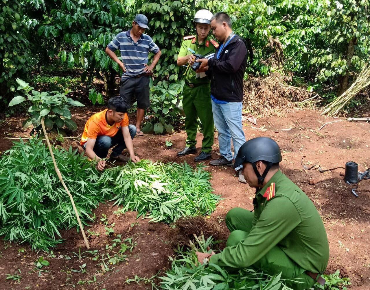 Nhổ bỏ 539 cây cần sa trồng trái phép ở xã Cư Pơng, huyện Krông Búk