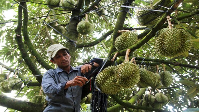 Đắk Lắk có 6 loại cây ăn quả được cấp mã số vùng trồng