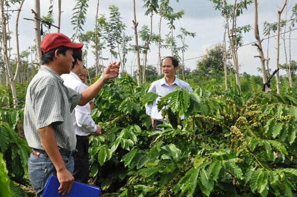 Đắk Lắk giải ngân nguồn vốn vay tái canh cà phê đạt 1.530 tỷ đồng