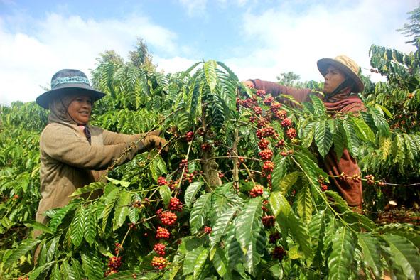 Đắk Lắk khuyến cáo người dân thu hoạch cà phê đảm bảo chất lượng