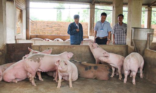 Tập trung chỉ đạo kiểm soát bệnh dịch tả lợn Châu Phi trên địa bàn tỉnh Đắk Lắk