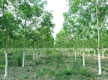 Lập dự án trồng cao su trên đất trồng rừng sau khai thác.