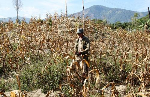 Hỗ trợ kinh phí để khắc phục hạn hán đối với sản xuất nông nghiệp trên địa bàn huyện Krông Búk.