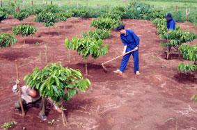 Triển khai Chương trình vay tái canh cây cà phê trên địa bàn tỉnh
