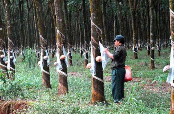 Đề nghị hợp tác hỗ trợ về khoa học  công nghệ cao su tại tỉnh Đắk Lắk