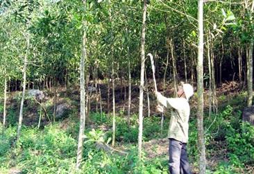 Thuê đất thực hiện dự án trồng rừng