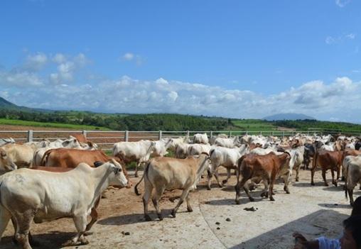 Cấp kinh phí bồi thường, hỗ trợ giải phóng mặt bằng DA đầu tư phát triển chăn nuôi gia súc tại Đắk Lắk