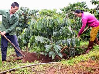 Đắk Lắk: Đẩy mạnh tuyên truyền cho vay tái canh cà phê