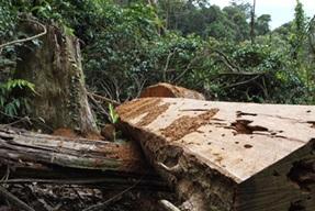 Xử lý thông tin việc khai thác rừng trái phép tại huyện Krông Bông