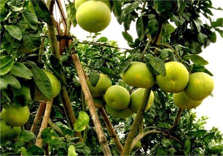 Thực hiện Dự án sản xuất nông nghiệp ứng dụng công nghệ cao để trồng bưởi, gừng và hoa quả nhiệt đới Tây Nguyên