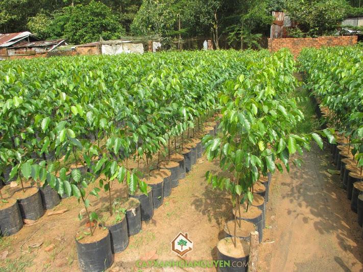 Phê duyệt kế hoạch lựa chọn nhà thầu gói thầu: Mua cây sao đen để trồng bổ sung cây bản địa trong rừng trồng đặc dụng sau tỉa thưa rừng trồng