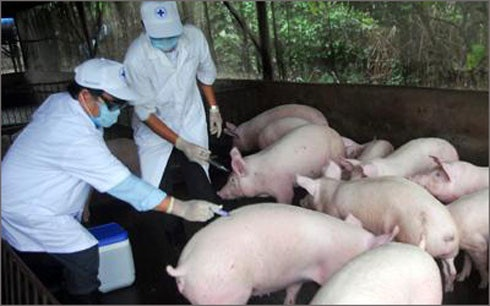 Phê duyệt KH đấu thầu gói thầu mua Vắc xin Lở mồm long móng cho gia súc trên địa bàn tỉnh.