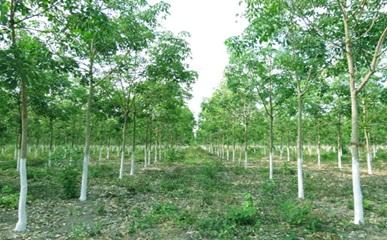 Phê duyệt suất đầu tư vườn cây cao su của Công ty TNHH MTV Cao su Đắk Lắk