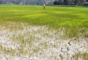 Chỉ định thầu đơn vị cung cấp giống để hỗ trợ khôi phục sản xuất do hạn hán gây ra trong vụ Đông Xuân 2015-2016 trên địa bàn huyện Krông Bông