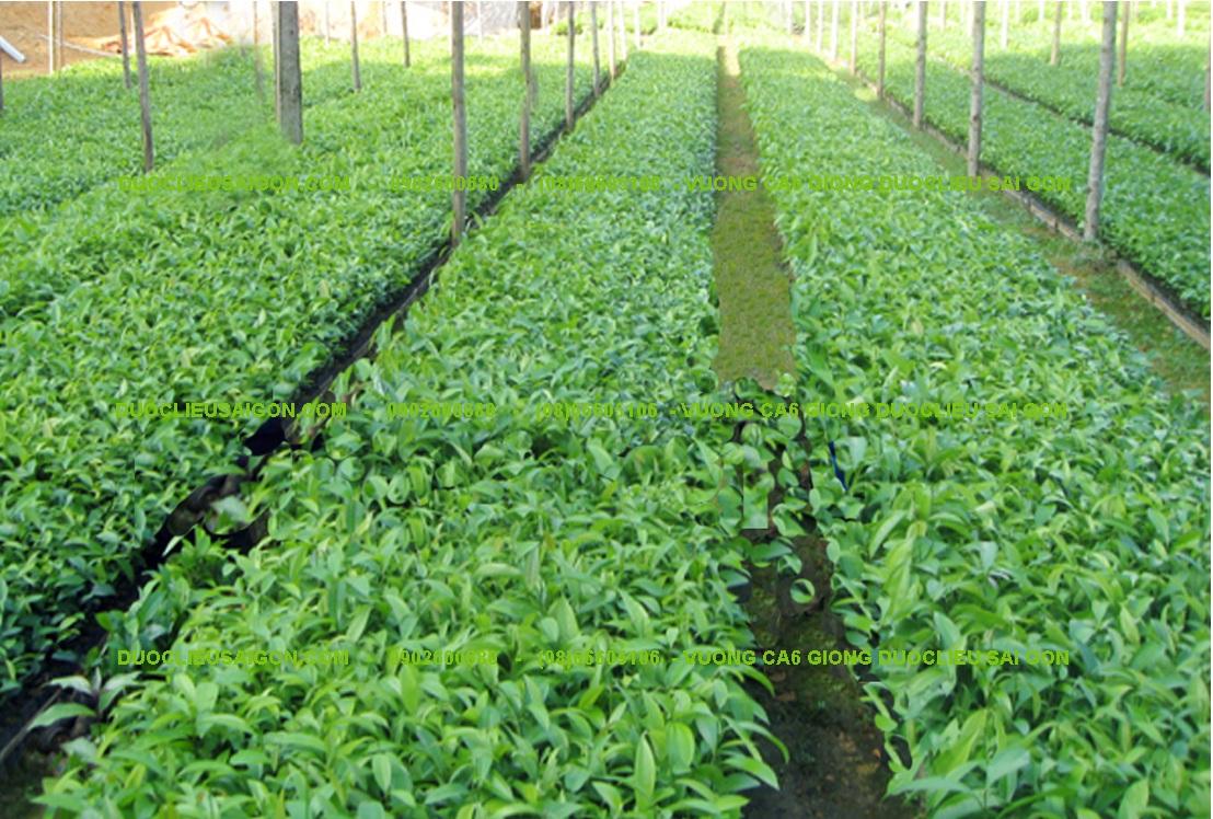 Hướng dẫn nhà đầu tư thực hiện dự án nhà máy sơ chế và trồng cây dược liệu theo hướng sản xuất hàng hóa tại huyện Cư M'gar