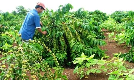 Đề nghị cho phép mua vật tư phân bón hỗ trợ khôi phục sản xuất đối với cây cà phê.
