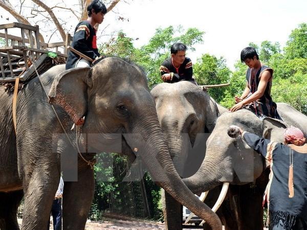 Thực hiện phóng sự bảo tồn voi tại Đắk Lắk