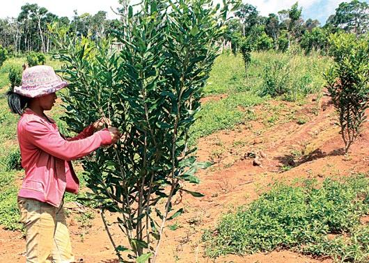 Trồng thí điểm cây Mắc ca và quản lý bảo vệ rừng của Công ty TNHH Thiên Hà