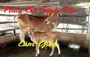 Phê duyệt kế hoạch lựa chọn nhà thầu gói thầu: Mô hình hỗ trợ phát triển sản xuất chăn nuôi bò cái lại sinh sản